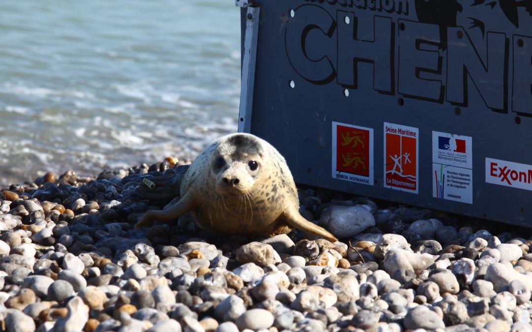 L'association CHENE et EMDT relâchent trois phoques gris